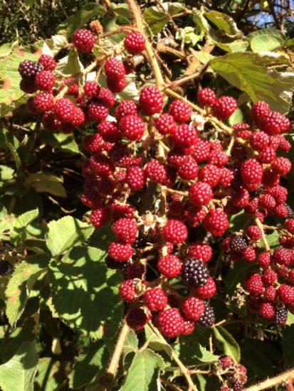 Poda de fructificaci n de arbustos de baya germinando - Poda de hortensias epoca ...
